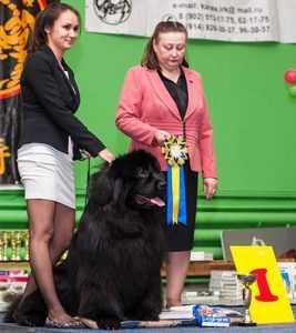 Победитель Всеросийской выставки собак