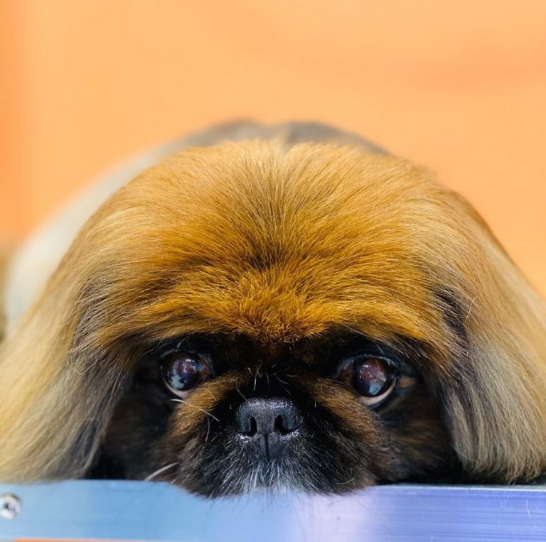 Красотка пекинес Боня посетила наш салон  На Аккуратно подстриженной шерсти гора...