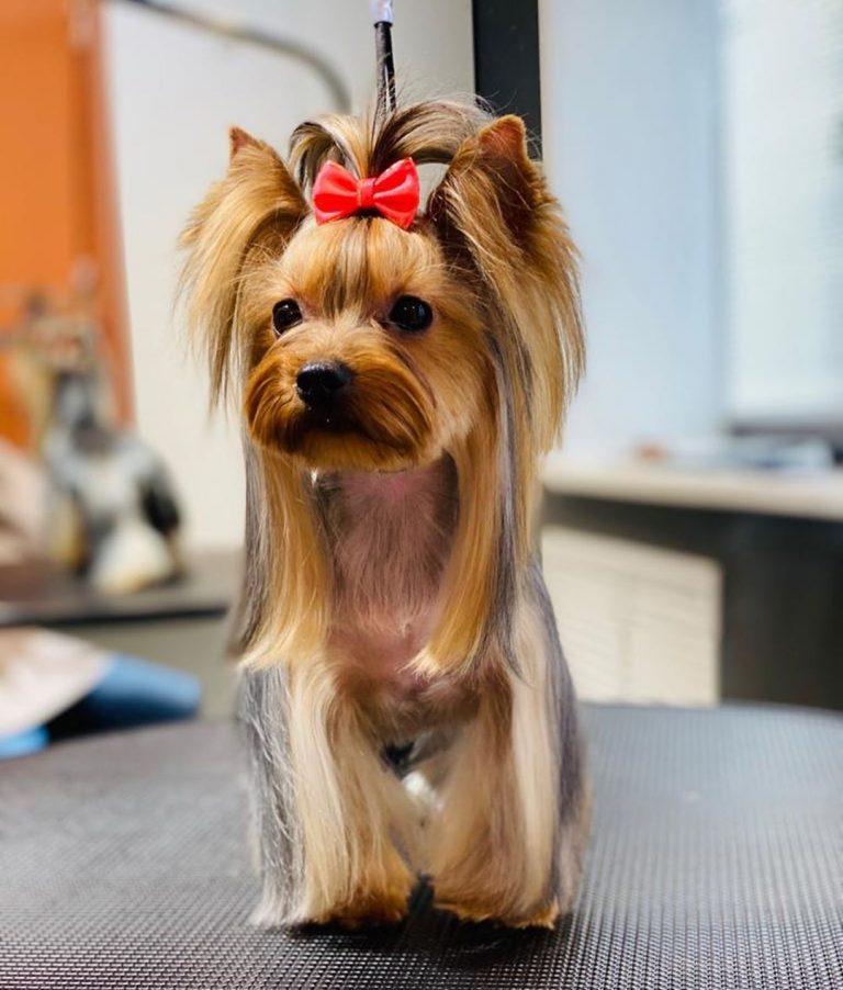 Каждая собака красива, мы лишь подчёркиваем это  Йоркширский терьер Ляля  Работа...