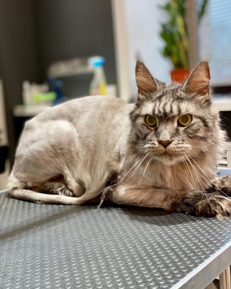 Почему-то бытует мнение, что котов стригут под наркозом  Мы решительно опроверга...