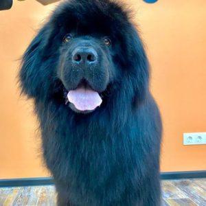 Работать с крупными собаками всегда очень интересно  Наш любимец Ньюфаундленд Ба...