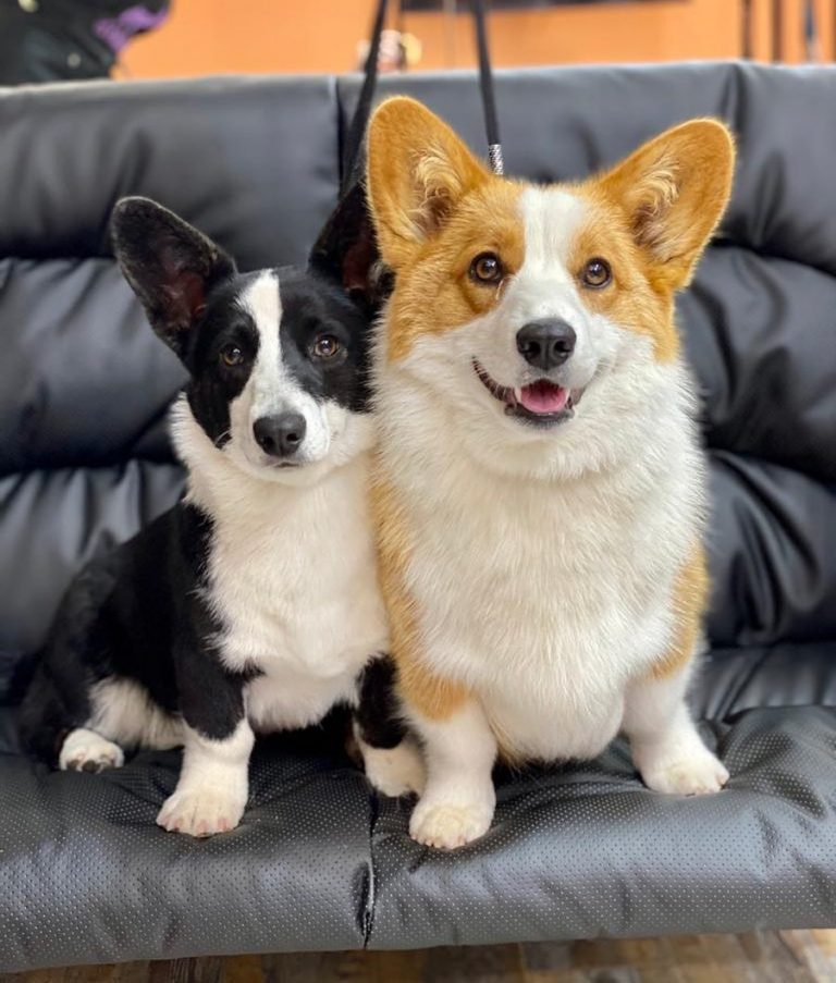 Знакомьтесь, это Фике и Эмма  В Иркутске всего лишь 3 собаки породы Вельш Корги ...