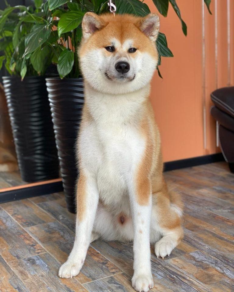 Мы Профессионально делаем шоу-груминг собак с двойным типом шерсти, такие как  ...